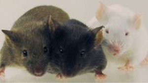 different mouse strains